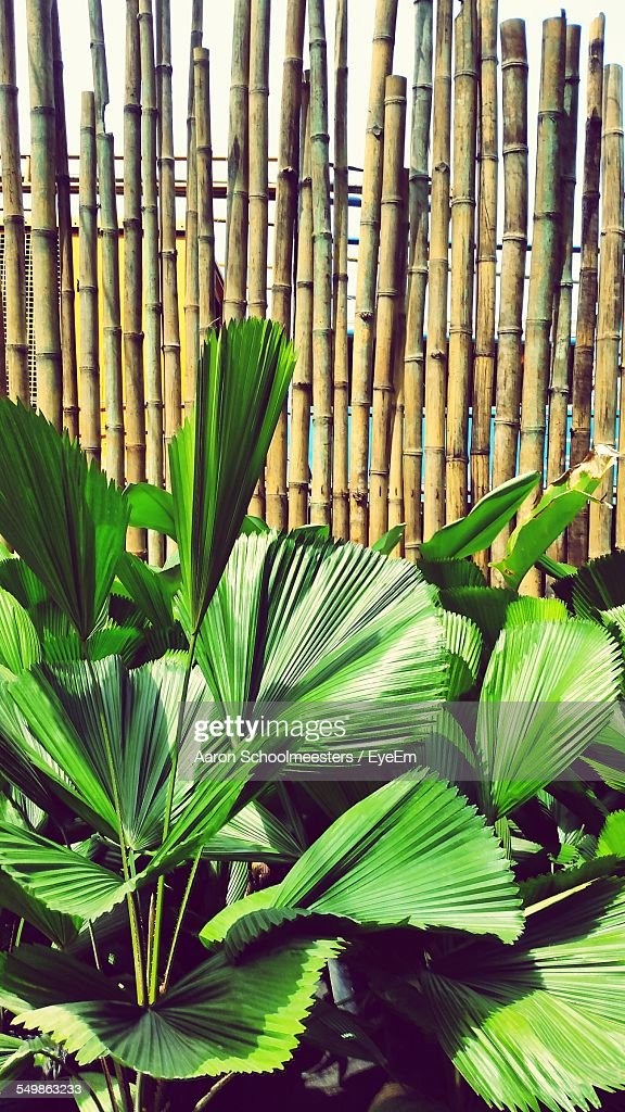 Fan palm trees in lawn surrounding by fence stock photo