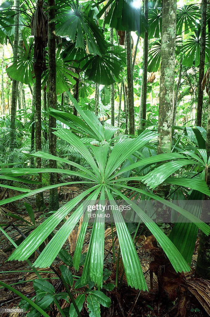 fan palms in world heritage area rainforest, mission beach, queensland : Stock Photo