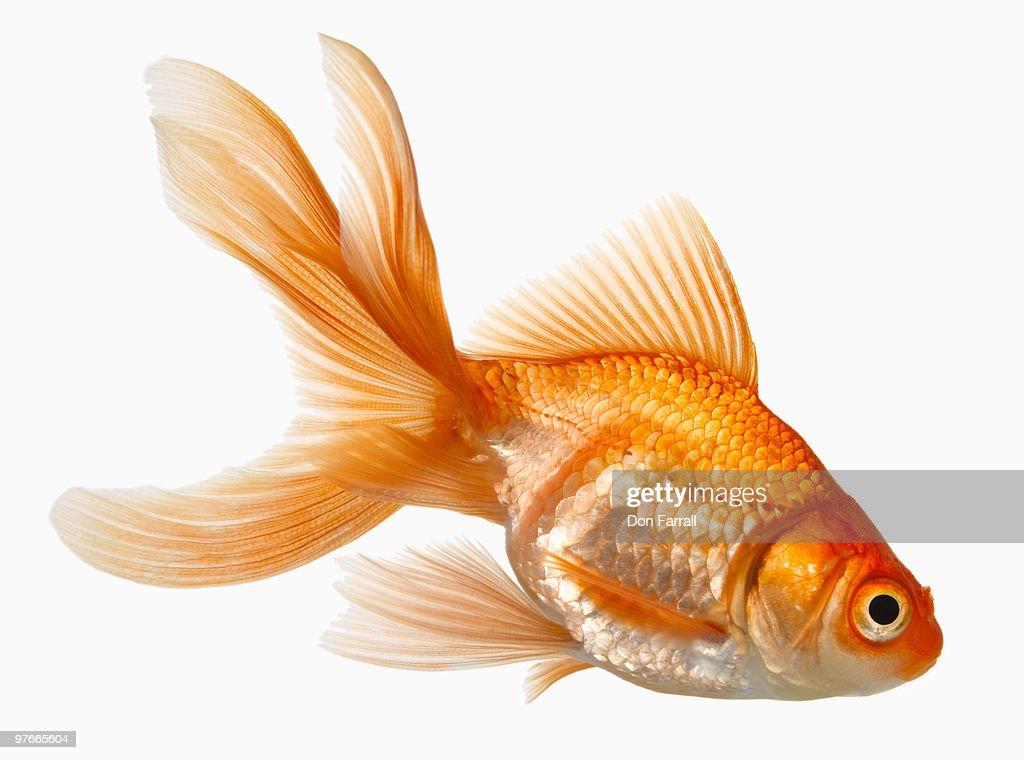 Fancy Goldfish : Stock Photo