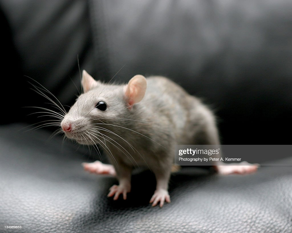 Fancy rat perches on seat of black leather chair