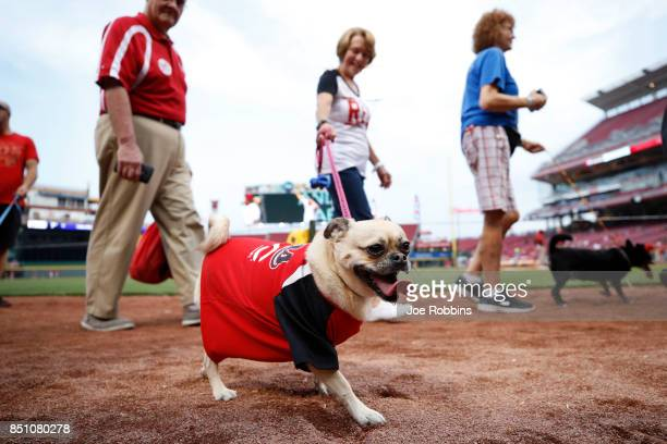 Fans parade their dogs around the infield during the season's final Bark in the Park prior to a game between the St Louis Cardinals and Cincinnati...
