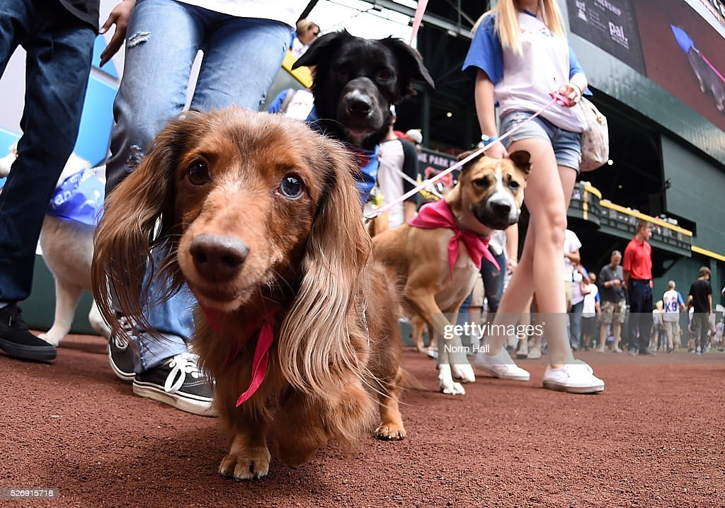Fans walks their dogs on the outfield warning track prior to a game between the Arizona Diamondbacks and the Colorado Rockies at Chase Field on May 01, 2016 in Phoenix, Arizona. The Diamondbacks will be holding Bark at the Park promotions during Sunday games.