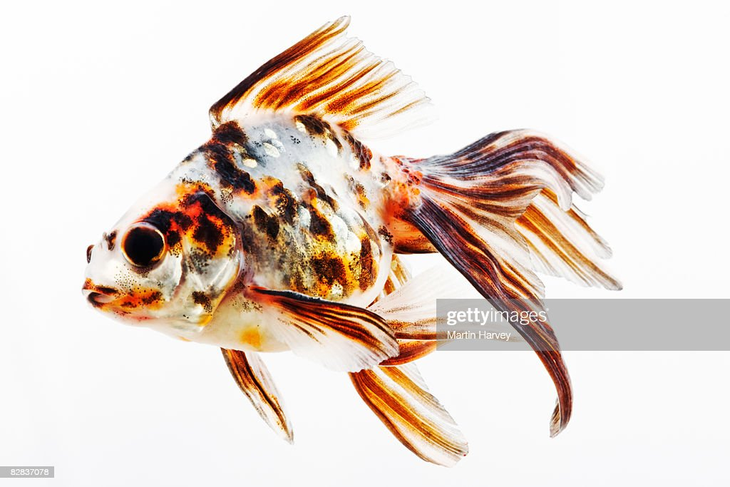 Fantail Comet goldfish : Stock Photo