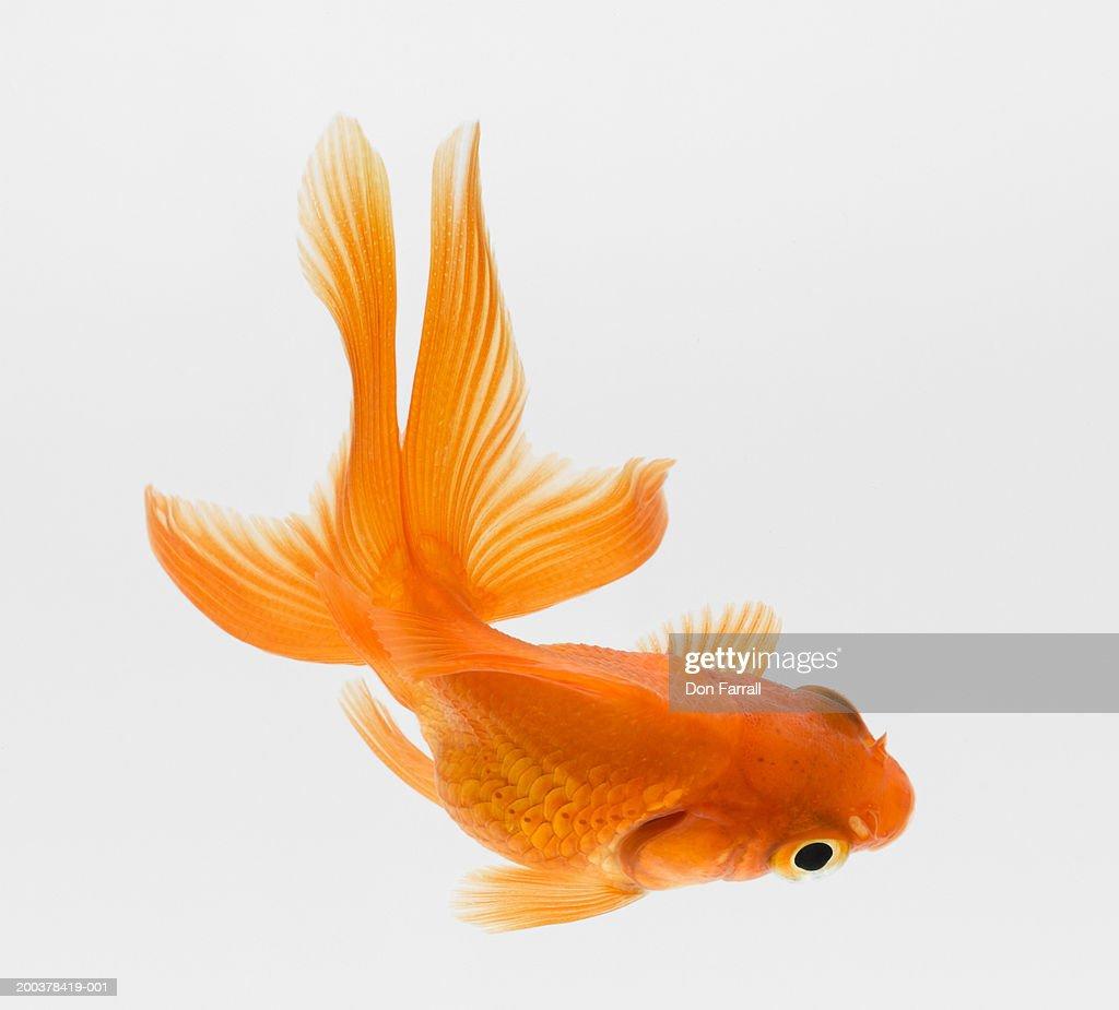 Fantail goldfish (Carassius auratus), elevated view