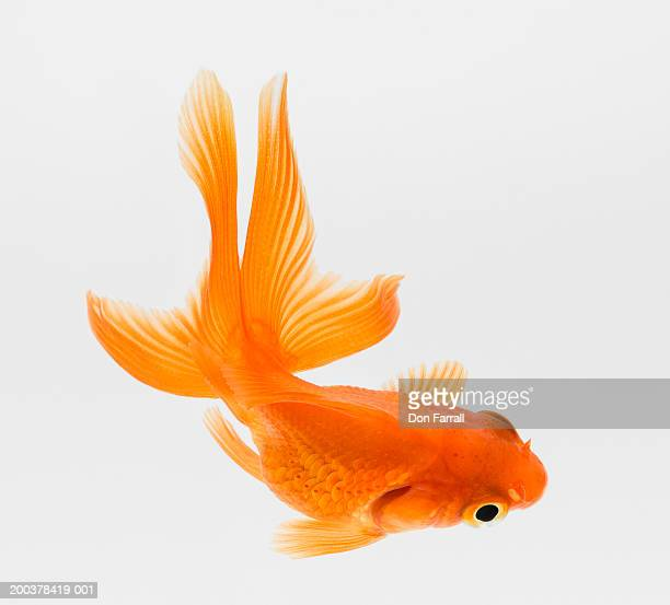 Fantail goldfish (Carassius auratus), elevated view
