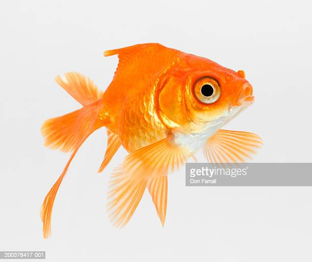 Fantail goldfish (Carassius auratus)
