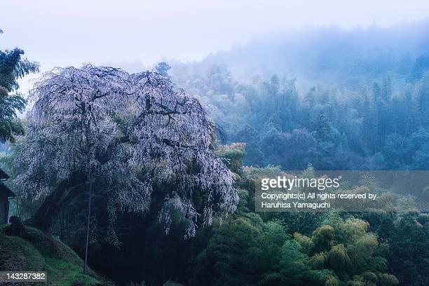 Fantasy of ancient Cherry Blossom