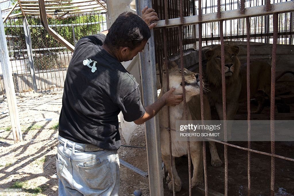 Farid al-Hissi scratches the neck of the lioness from outside the cage housing her and a Lion at the Bisan City tourist village zoo, in Beit Hanun on August 14, 2014. The zoo, part of Al-Bisan City, was built by the Hamas government in 2008 as a tourist village, but is now far from relaxing, with the wire of its enclosures twisted and crushed after the strikes, debris and dead animals strewn around, and the remains of militant rocket launchers lying nearby. AFP PHOTO/ROBERTO SCHMIDT