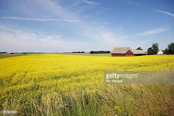 A farm and fields of rape Skone Sweden.