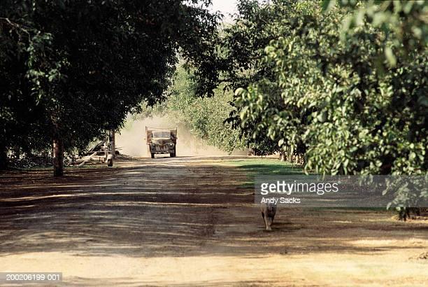 Farm dog and truck on dusty road through walnut orchard