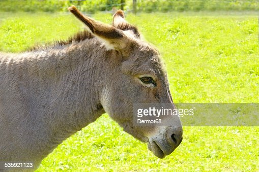 Farm donkey : Stock Photo