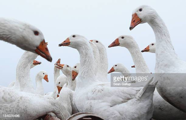 Farm geese gather at a water feeder on an open field at the Oekohof Kuhhorst organic farm near Berlin on November 24 2011 in Kuhhorst Germany Goose...