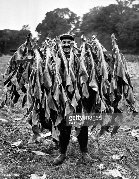 A farm hand with some specimens after picking the tobacco harvest at the farm of AJ Bandon at Church Crookham