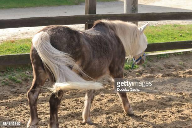 Farm horse in a corral (Equus ferus caballus).