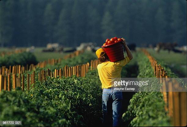 Farm labourer carrying bucket of tomatoes on shoulder, rear view