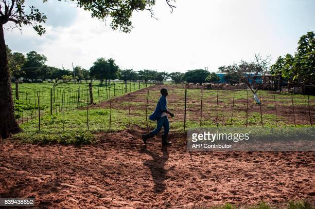 A farm labourer walks in the afternoon light on the Rosedale Dairy Farm on July 11 2017 Farming in Nigeria is not for the fainthearted Intermittent...