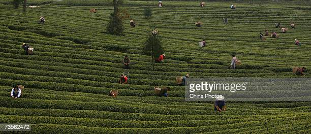 Farm labourers pick tea leaves at a tea plantation on March 9 2007 in the outskirts of Chongqing Municipality China The tea producing peak falls on...