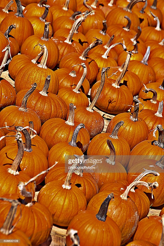 Farm of fresh pumpkins : Foto de stock