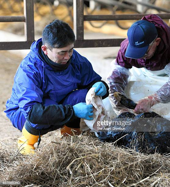 Farm owner Hiroaki Hiruta wipes a newly born baby cow at Hiruta dairy farm on January 24 2017 in Naraha Japan About 400 liters of unpasteurized milk...