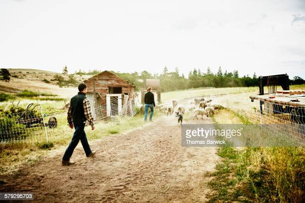 Farm owners herding flock of sheep and goats