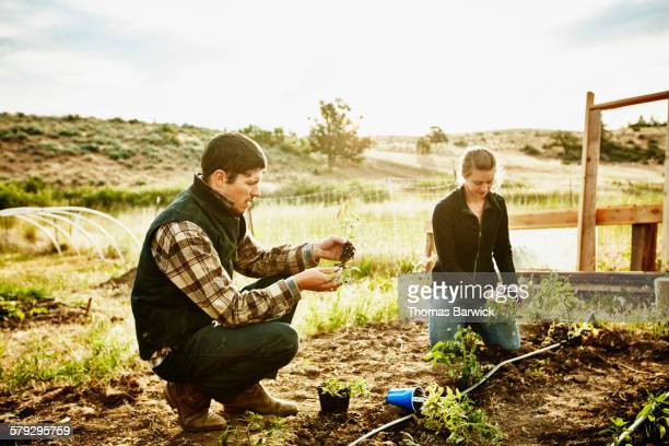 Farm owners in garden planting tomato plants
