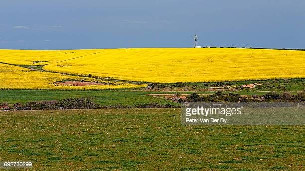 A farm with both wheat and canola and a distant windmill on the hill covered with canola, Swellendam, Western Cape Province, South Africa