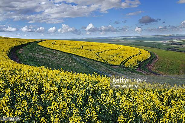 A farm with canola and wheat lands with tracks in the canola under a cloudy sky; Swellendam, Western Cape Province, South Africa