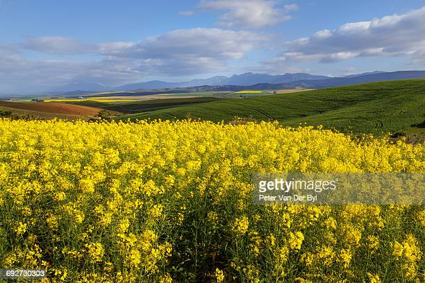 A farm with canola in the foreground and in the distance separated with wheat under a cloudy sky, Swellendam, Western Cape Province, South Africa