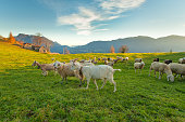 Farm on the Italian Alps with sheep and goats