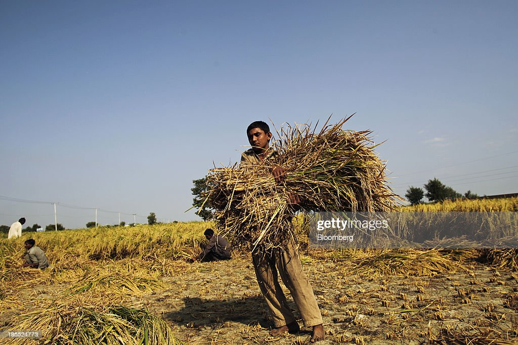 A farm worker carries a bundle of rice during a crop harvest in the district of Chiniot in Punjab, Pakistan, Sunday, Oct. 13, 2013. Prime Minister Nawaz Sharifs four-month-old government is struggling to revive the $231 billion economy crippled by chronic energy shortages and a spike in violence from a Taliban insurgency in the northwest. Photographer: Asad Zaidi/Bloomberg via Getty Images