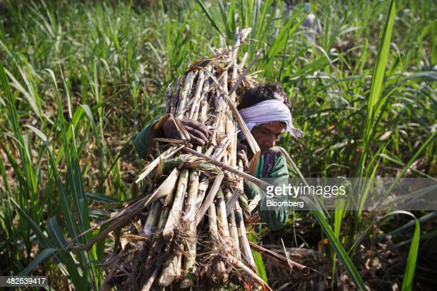 A farm worker carries a bundle of sugarcane to a cart during a crop harvest in a field in the district of Hapur Uttar Pradesh India on Thursday April...