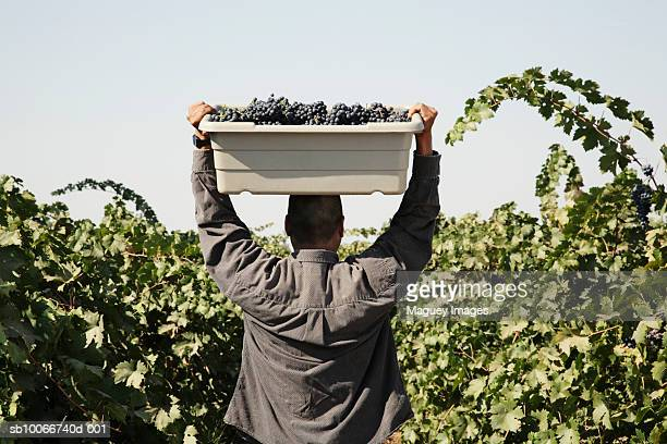 Farm worker carrying basket with red grape, rear view