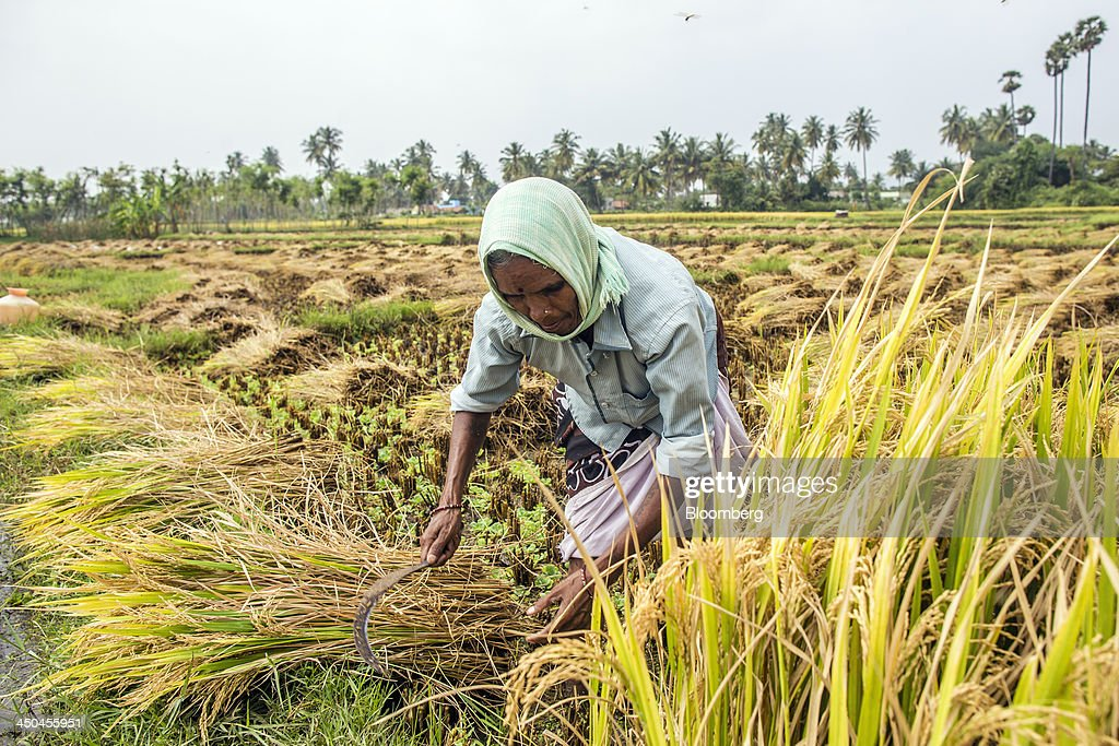 A farm worker cuts rice with a sickle during a crop harvest in paddy fields near Thimmapuram, Tamil Nadu, India, on Thursday, Nov. 14, 2013. Record onion prices and the soaring cost of rice and coriander are frustrating Reserve Bank of India Governor Raghuram Rajans battle to curb inflation while supporting growth in Asias third-largest economy. Photographer: Prashanth Vishwanathan/Bloomberg via Getty Images