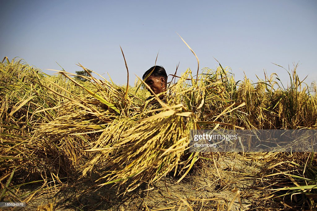 A farm worker cuts rice with a sickle during a crop harvest in the district of Chiniot in Punjab, Pakistan, on Sunday, Oct. 13, 2013. Prime Minister Nawaz Sharifs four-month-old government is struggling to revive the $231 billion economy crippled by chronic energy shortages and a spike in violence from a Taliban insurgency in the northwest. Photographer: Asad Zaidi/Bloomberg via Getty Images