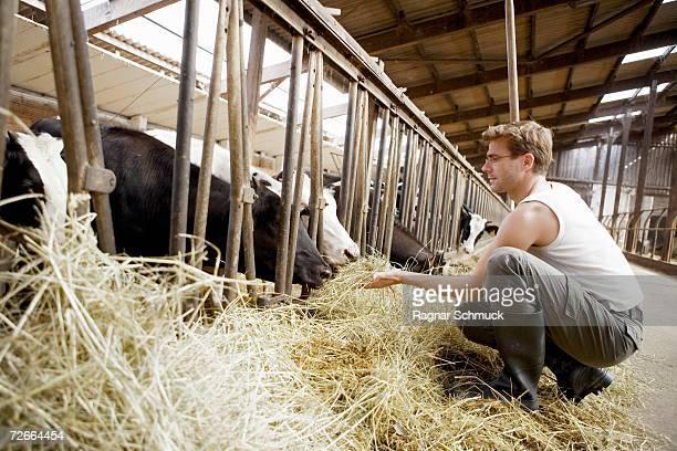 Farm worker feeding cows hay