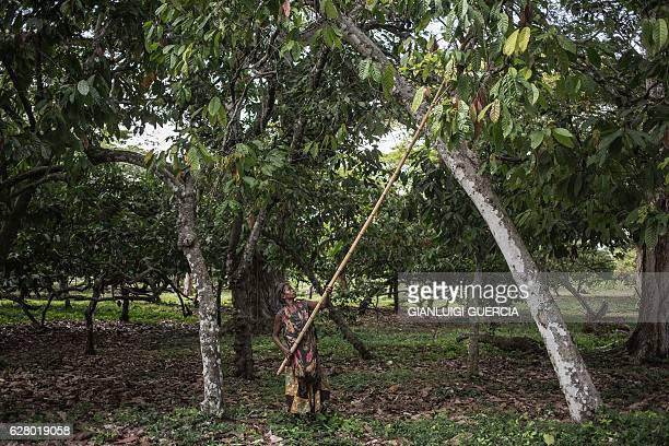 A farm worker from the MAVA Cacao plantation picks shells from a Cacao plant at the plantation farm on November 30 2016 in the Madagascar Cacao...