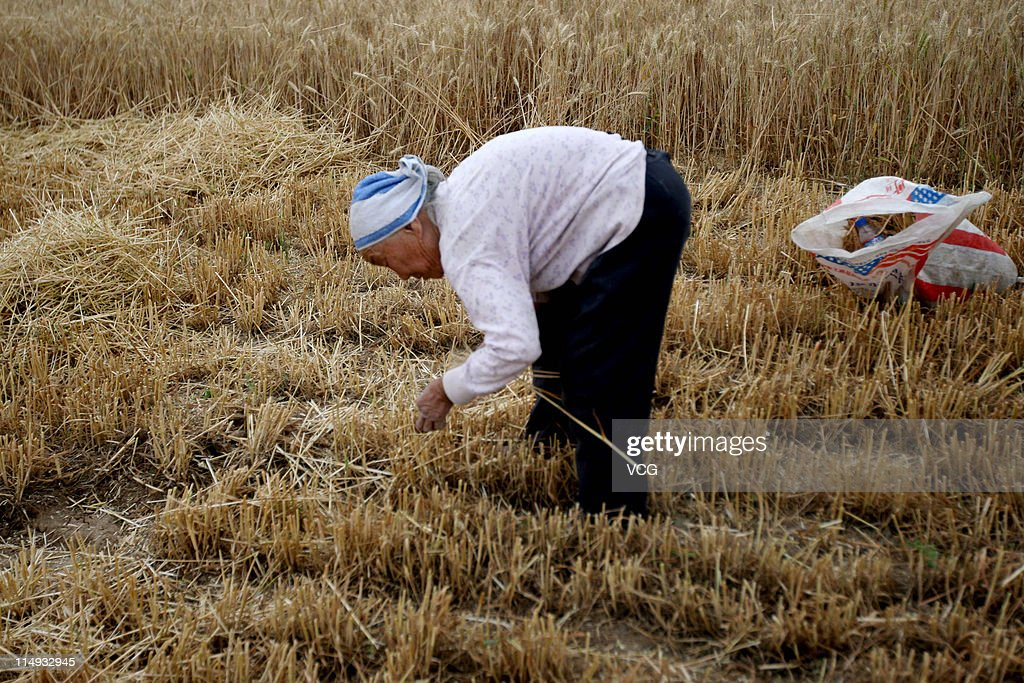 A farm worker gleans wheat in a field on May 29, 2011 in Huaibei, Anhui Province of China. Anhui province will put 125,000 combine harvesters into this wheat harvest season, and it's estimated that the work will be completed basically in 10 days.