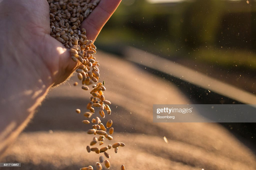 A farm worker handles wheat grain during harvest in Wustermark, Germany, on Monday, Aug. 14, 2017. In Germany, problems with specific weight and Hagberg, a measure of baking quality, mean as much as 40 percent of wheat may have to go to the animal feed market this year. Photographer: Krisztian Bocsi/Bloomberg via Getty Images