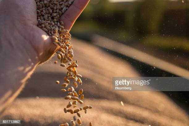 A farm worker handles wheat grain during harvest in Wustermark Germany on Monday Aug 14 2017 In Germany problems with specific weight and Hagberg a...