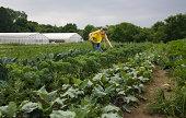 Farm worker harvesting a field of organic kale