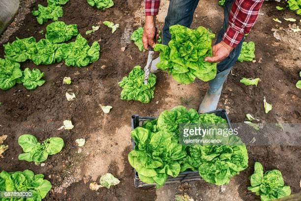 Landarbeiter, die Ernte von Salat