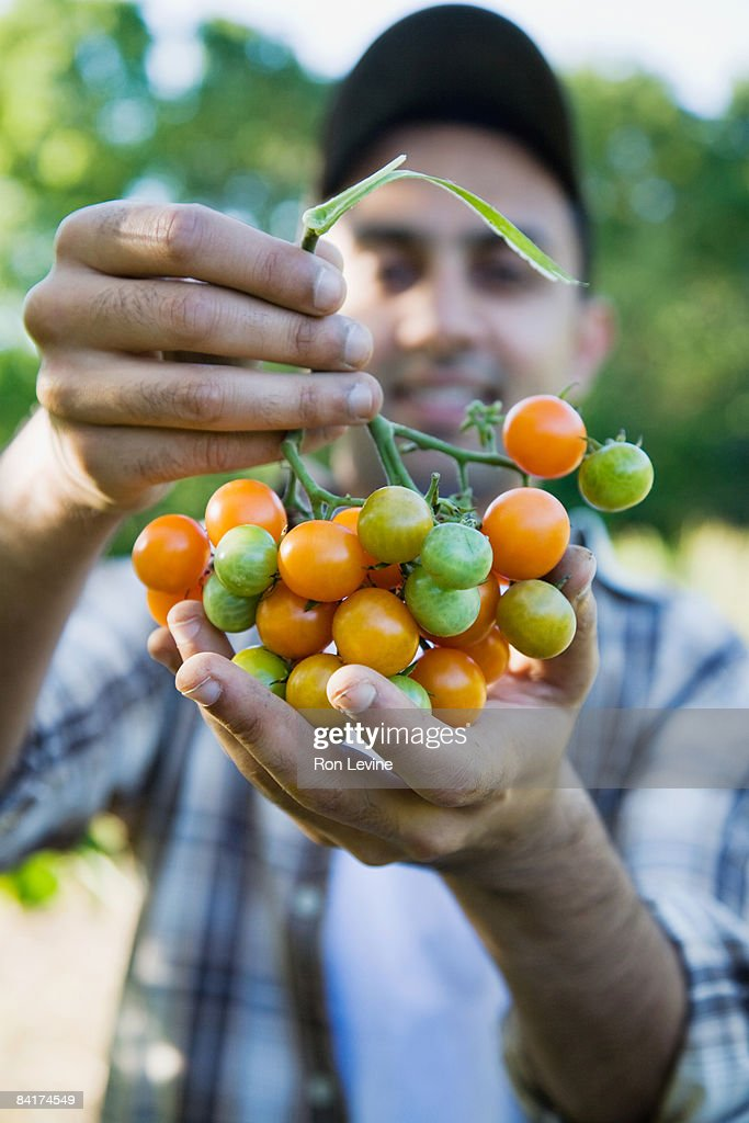 Farm worker holding Sunsugar cherry tomatoes : Stock Photo