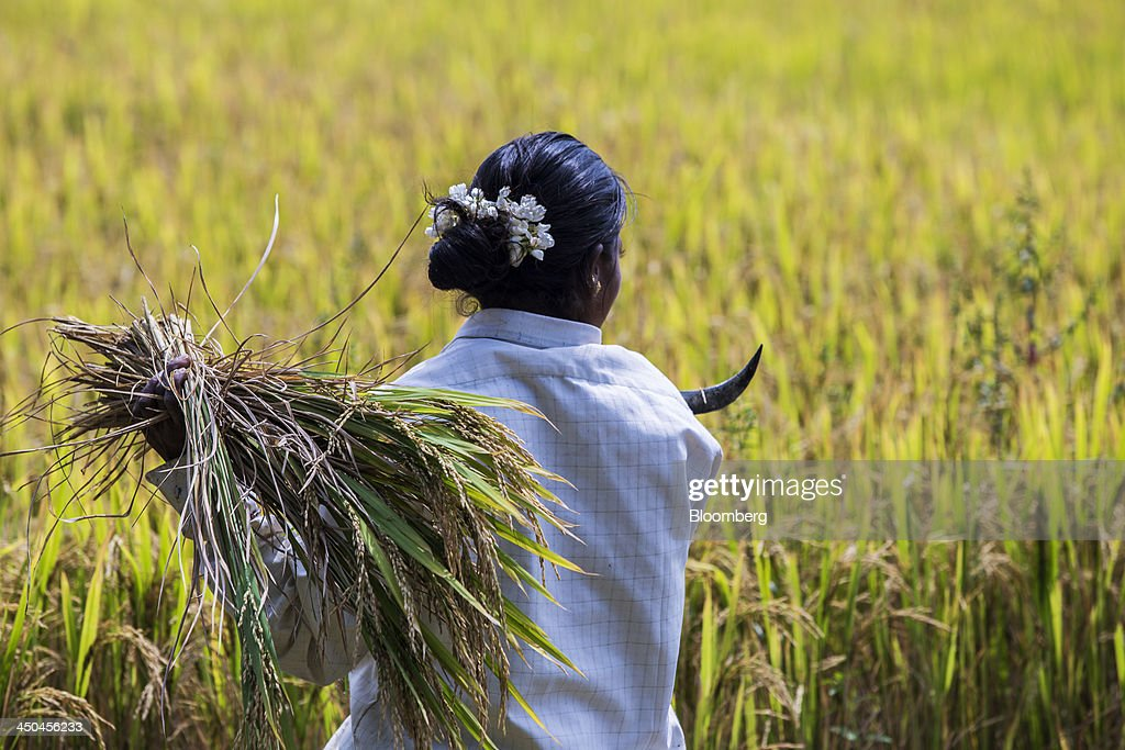 A farm worker holds a bundle of cut rice and a sickle during a crop harvest in paddy fields near Thimmapuram, Tamil Nadu, India, on Thursday, Nov. 14, 2013. Record onion prices and the soaring cost of rice and coriander are frustrating Reserve Bank of India Governor Raghuram Rajans battle to curb inflation while supporting growth in Asias third-largest economy. Photographer: Prashanth Vishwanathan/Bloomberg via Getty Images