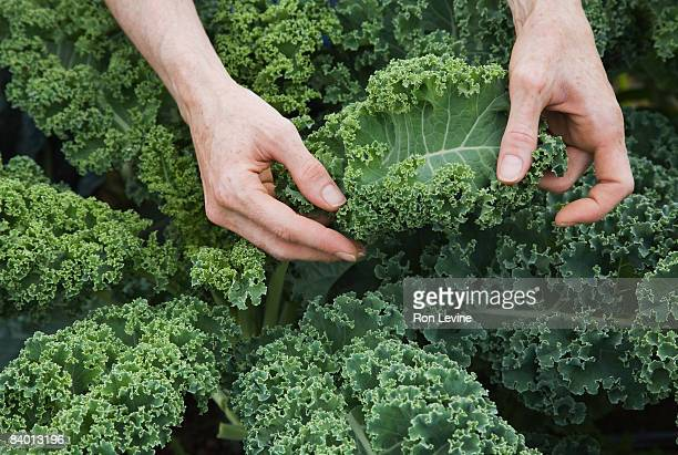 Farm worker inspecting organic kale leaves
