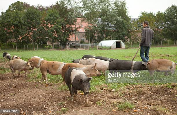 Farm worker looking at free range with pigs.