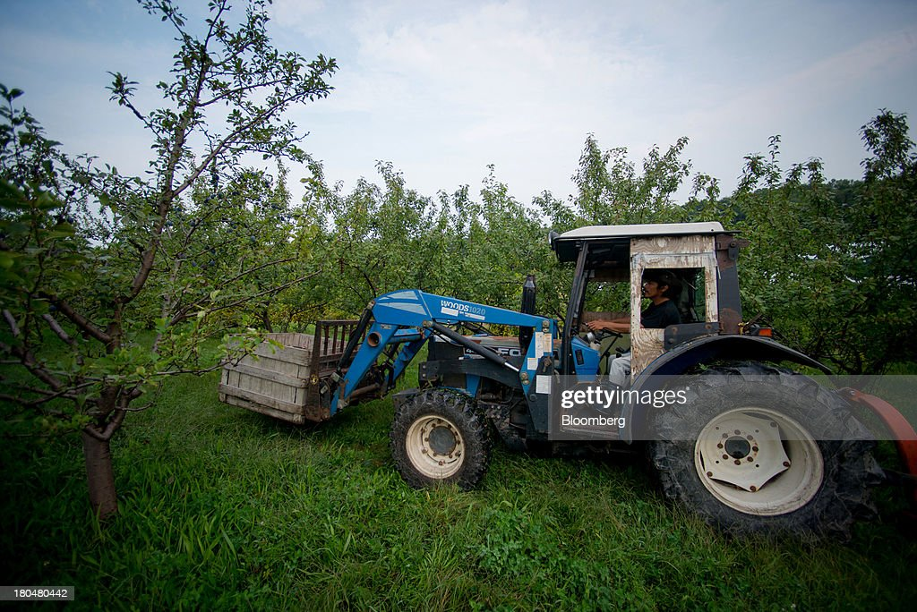 Farm worker Oscar Herta drives a tractor with a load of plums at Stone Ridge Orchard in Stone Ridge, New York, U.S., on Thursday, Sept. 12, 2013. With apple harvest now officially underway across the state of New York, nearly 700 apple growers are expected to pick about 32 million bushels by the time harvest concludes in November, according to New York Apple Association (NYAA) reports. Photographer: Craig Warga/Bloomberg via Getty Images