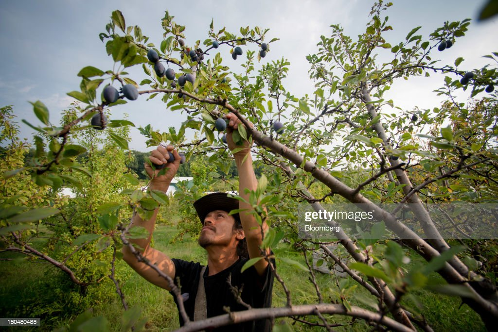 Farm worker Oscar Herta picks plums at Stone Ridge Orchard in Stone Ridge, New York, U.S., on Thursday, Sept. 12, 2013. With apple harvest now officially underway across the state of New York, nearly 700 apple growers are expected to pick about 32 million bushels by the time harvest concludes in November, according to New York Apple Association (NYAA) reports. Photographer: Craig Warga/Bloomberg via Getty Images