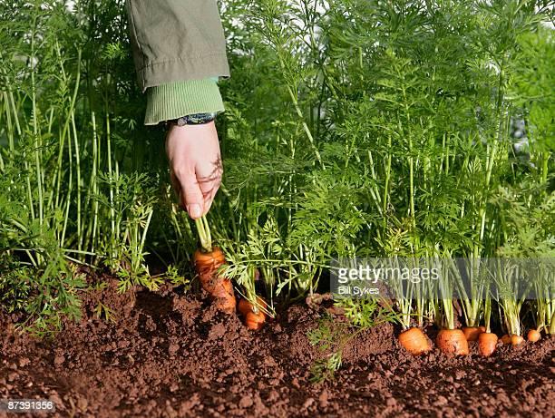 farm worker picking carrot