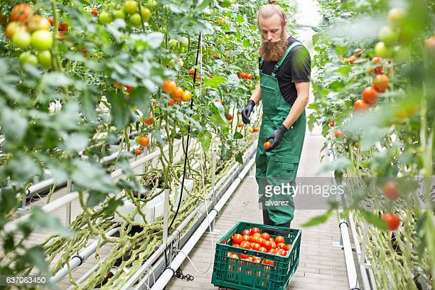 Farm worker picking ripe tomatoes in greenhouse
