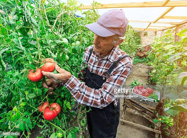 Farm worker picking tomatoes from the garden